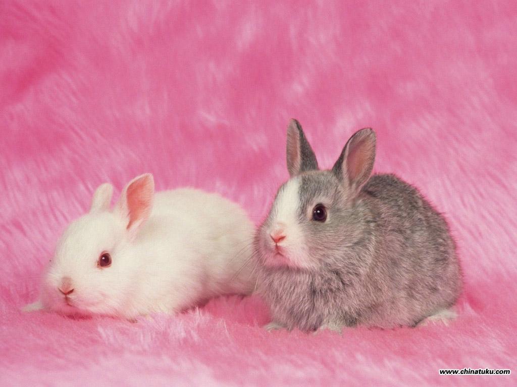 壁纸1024 215 768可爱兔子壁纸 可爱兔子壁纸图片 动物壁纸 动物图片素材 桌面壁纸