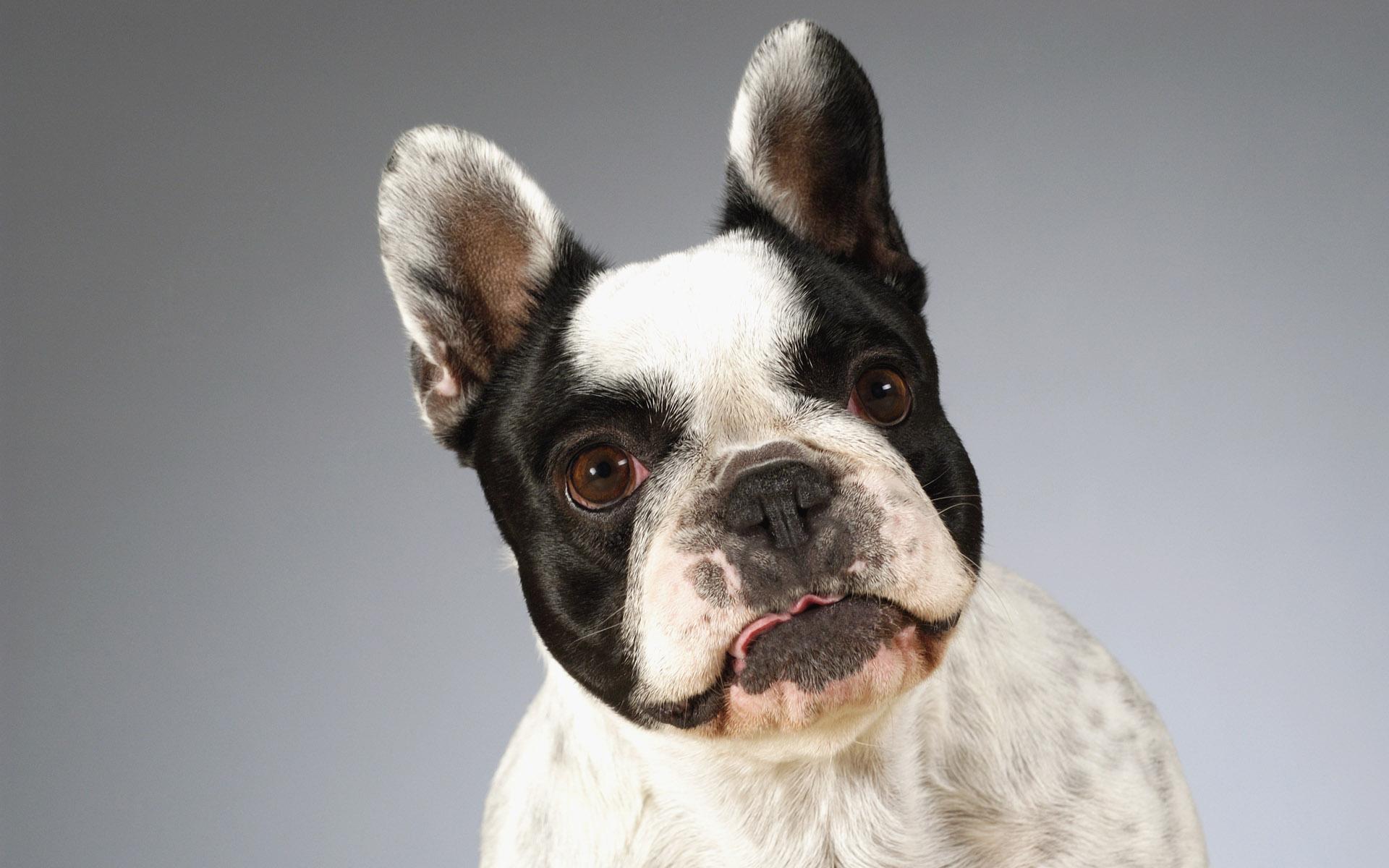 壁纸 狗狗/可爱小狗电脑桌面壁纸
