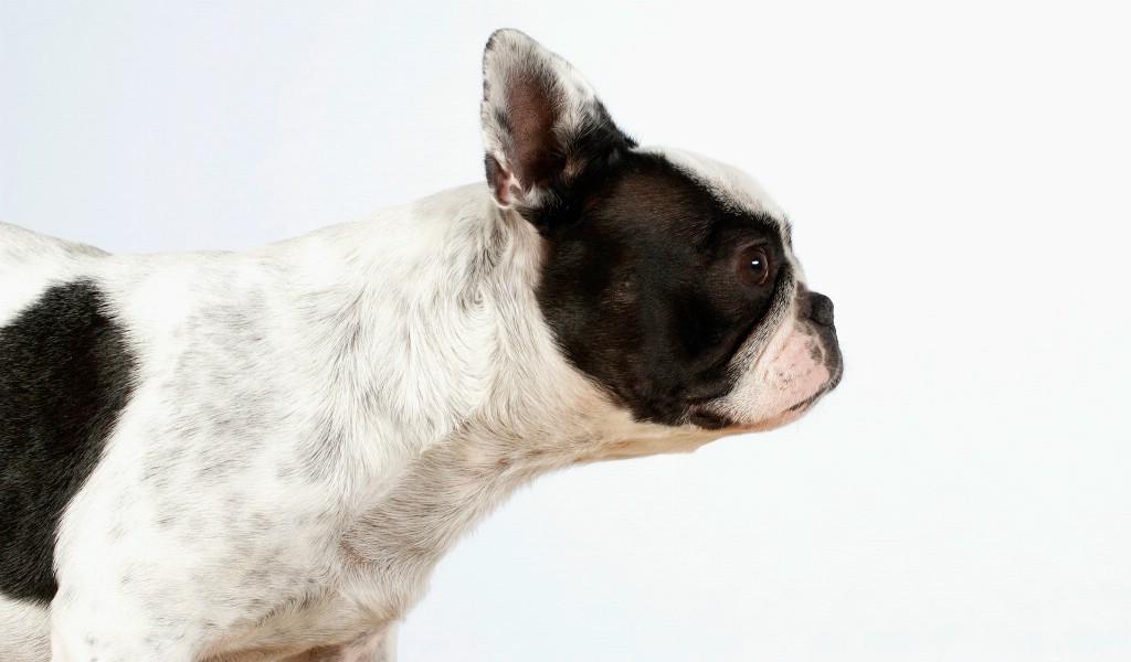 壁纸1024×600可爱小狗电脑桌面壁纸壁纸