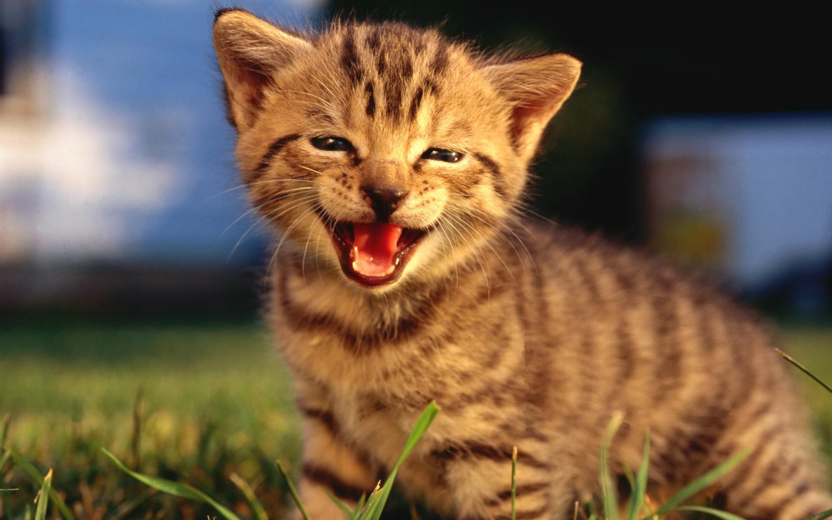 壁纸1680×1050可爱小猫咪宽屏壁纸壁纸