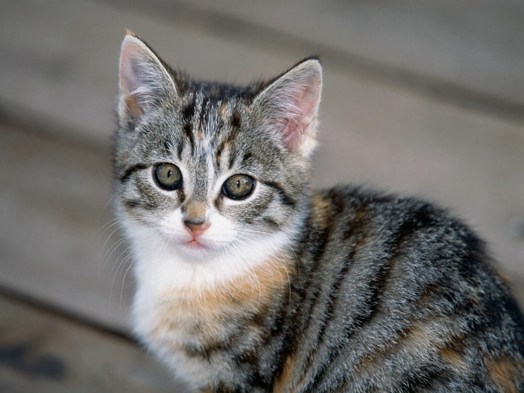 小猫咪可爱卖萌壁纸